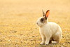 Rabbit (Teruhide Tomori) Tags: rabbit wild animal ohkunojimaisland hiroshima takehara japan japon ウサギ アナウサギ 大久野島 広島 竹原 瀬戸内海 setoinlandsea 動物 野生 nature 自然