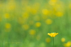 Buttercup Delight! (Janet_Broughton) Tags: lensbaby velvet85 buttercups weeds yellow dreamy