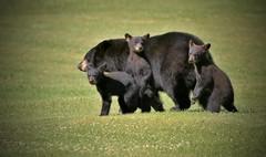 Momma Bear & Her Curious Trio(200.0 mm) (Direwolf131) Tags: