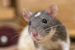 Close rat portrait (Tambako the Jaguar) Tags: rat pet female rodent gray white close portrait face zürich switzerland nikon d5