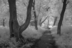 Sentier (Patrice StG) Tags: ir ir760nm 760nm infrarouge infrared gimp foliage feuillage sentier trail trees arbres nb noiretblanc blackandwhite québec orton