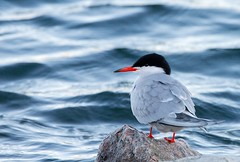 Tern (Karen_Chappell) Tags: bird nature blue tern animal canada newfoundland pond kennyspond stjohns rock water