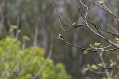 20180602-0I7A5797 (siddharthx) Tags: 7dmkii ananthagiri ananthagiriforest ananthagiriforestrange bird birdwatching birding birdsinthewild birdsofindia birdsoftelangana canon canon7dmkii cottoncarrierg3 ef100400f4556isii ef100400mmf4556lisiiusm forest goldenhour jungle landscape monsoon muddy nature rain rains telangana tree trees vikarabad wet wild wildbirds wildlife longtailedshrike shrike burgupalle india in baybackedshrike rufousbackedshrike