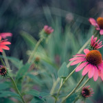 Coneflowers - color version, vintage look thumbnail