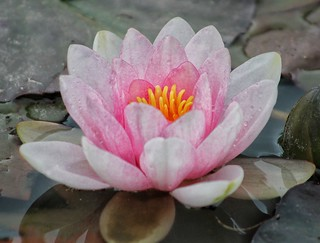 Beautiful pink water lilies!😊😊😊
