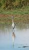 Heron, Mapungubwe National Park, South Africa (nadine3112) Tags: mapungubwenationalpark reiher schwarzhalsreiher vogel