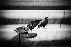 3264 (Elke Kulhawy) Tags: vogel monochrome blackandwhite bnw bw stadt street köln cologne art kunst lensbaby terassen deutz