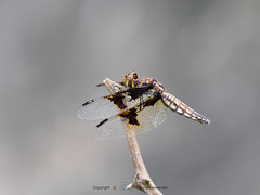 Dragonflies (章北海) Tags: dragonflies dragonfly rwanda tanzania africa wildlife nature wings fly insects
