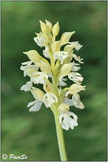 Orchis purpúrea albina (silvestre)