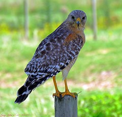 The Red-shouldered Hawk (Gary Helm) Tags: bird birds hawk nature wildlife outside outdoor image photograph florida raptor osceolacounty joeoverstreetroad post fence fencepost redshoulderedhawk ghelm4747 garyhelm canon powershot sx60hs soaringhawk forest swamps trees mamals snakes toads animal