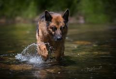Priceless (♞Jenny♞) Tags: otto gsd jennygrimm creek germanshepherd loyalty