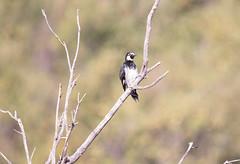 Acorn Woodpecker (ElizabethCaffey) Tags: acorn woodpecker placerita canyon california
