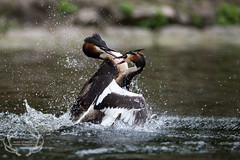 _DSC6513 (Bartek Olszewski) Tags: grebe birds ducks nature nikon nikond4s natureperfectionthernature perkoz wildlifephotography water