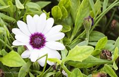 Margarita del Cabo (Marian Blasco fotografía) Tags: marian2705 naturaleza nature marianblasco flores flor fotografía florwer blanco vegetación verde margarita