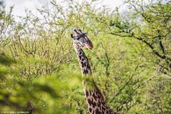 2017.06.23.1592 Giraffe (Brunswick Forge) Tags: 2017 safari africa grouped tanzania favorited commented