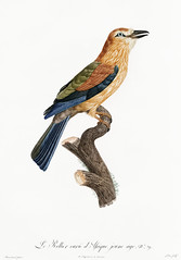 Young African roller from Histoire Naturelle des Oiseaux de Paradis et Des Rolliers (1806) by Jacques Barraband (1767-1809). (Free Public Domain Illustrations by rawpixel) Tags: otherkeywords african animal antique barraband bird birdofparadise cc0 creativecommon0 creativecommons0 drawing drawn fly handdrawing handdrawn histoirenaturelledesoiseauxdeparadisetdesrolliers illustration jacquesbarraband jaques jaquesbarraband old publicdomain roller rollers sketch vintage young youngafricanroller