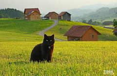 Negi (morbidtibor) Tags: poes kitten pussycat switzerland schwellbrunn ettenberg kat cat kater