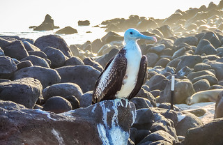 Female Frigatebird perched on a rock-9161