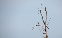 Great Blue Heron in dead tree