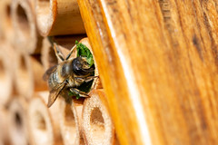 Leafcutter Bee (3) (oandrews) Tags: 30dayswild bee bees canon canon70d canonuk garden insect insects invertebrate invertebrates leafcutter leafcutterbee megachile minibeast minibeasts nature outdoors wildlife