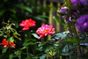 DSC_0339 (PeaTJay) Tags: nikond750 sigma reading lowerearley berkshire macro micro closeups gardens outdoors nature flora fauna plants flowers rose roses rosebuds