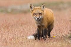 red fox washington state (lee barlow) Tags: nikon800mm ngc washingtonstate vulpesvulpes mammalsofnorthamerica leebarlow redfox sanjuanisland d7200 nikon