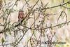 Songster (katejbrown photography) Tags: bird chainoflakes goldengatepark katebrown katejbrown nature northlake sanfrancisco sparrow