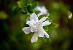 Gardenia (Phet Live) Tags: phet live zeiss 100mm f2