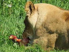 IMG_0029 (duncansmith50) Tags: yorkshirewildlifepark lions polar bears black rhino tigers giraffes doncaster