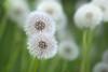 Dandelion (mpakarlsson) Tags: dandelion maskros vår blomma flower spring green bokeh canon canon70200 canon70200f28lll llens 5dmark3 5dmarkiii 5diii 5dm3 sweden dof