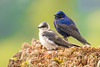 Purple Martin (JohnReynolds2012) Tags: 2018 vancouver bc wildlife bird inaturalist animals birds canada coquitlam britishcolumbia ca