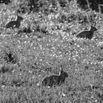 Rabbit Trio thumbnail