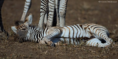 Taking cover (leendert3) Tags: select leonmolenaar southafrica krugernationalpark wildlife nature burchellszebra mammals ngc coth5 npc