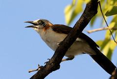 Bare-cheeked Babbler (zimbart) Tags: africa namibia etosha halali fauna vertebrata aves birds passeriformes leiothrichidae barecheekedbabbler turdoidesgymnogenys turdoides