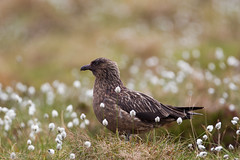 Storjo - Great Skua-3.jpg (Robert Fredagsvik - Norway) Tags: norway runde møreogromsdal storjo greatskua birds waterbirds fuglernorge birdsnorway vögel norwegen norge vögelnorwegen norwegiannature canon