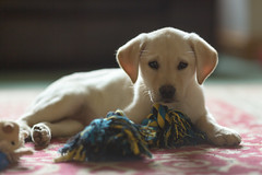 Holly in the room (aveyardphotography) Tags: holly labrador puppy laying carpet dog yellow