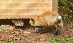 IMGL1485 Pugwash Red Fox Kit(s) (Wallace River) Tags: foxes novascotia pugwashfoxes redfoxes
