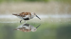 What's the hurry? (rmikulec) Tags: dunlin bird birding watch watching nature spring springtime migration ornithology grass pond lake ontario beach weeds hike forest wild wildlife sony a6300