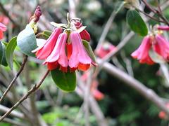 Himmelfahrt 2018, Rhododendron cinnabarinum (R.S. aus W.) Tags: rub ruhr universität bochum botanischer garten nrw blumen tiere vatertag himmelfahrt feiertag blüten wachteln nordrhein westfalen pflanzen gewächshäuser besucher