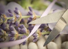summer posy for macro mondays 'hand tool' (Emma Varley) Tags: scissors nailscissors lavender sweet peas purple flowers garden wicker ribbon macromondays handtool
