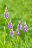 Common Orchid (boogie1670) Tags: canon 5d mark iv sigma lens orchids woodland outdoors wild flowers