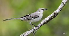Northern Mockingbird (jt893x) Tags: 150600mm bird d500 jt893x mimuspolyglottos mockingbird nikon nikond500 northernmockingbird sigma sigma150600mmf563dgoshsms songbird alittlebeauty coth thesunshinegroup coth5