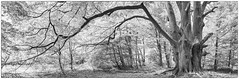 Three Trunk Beech (Markus Trienke) Tags: baum wald urwald sababurg gutsbezirkreinhardswald hessen deutschland de nature naturereserve wood tree trees forest beech