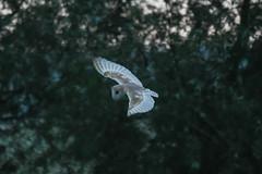 Barn Owl. (carl owlman) Tags: barnowl