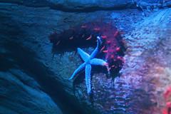 IMG_8692 (giltay) Tags: takumarsmc55mmf18 seaslug starfish