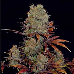 Landysh_54ee5801474b5 (Watcher1999) Tags: stress medical cannabis anxiety anxitey anxious anxeity pain relief chronic help with reliever marijuana seeds growing medicine weed smoking ganja legalize it