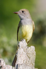Great Crested Flycatcher (tresed47) Tags: 2016 201605may 2018 201805may 20180524bombayhookbirds birds bombayhook canon7d content delaware flycatcher folder greatcrestedflycatcher may peterscamera petersphotos places season spring takenby us