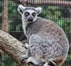 'I'm thinking out loud!' 😊🤔13/30 (LeanneHall3 :-)) Tags: title lyrics challenge grey white fur animal aviary eastpark hull kingstonuponhull closeup closeupphotography nature wildlife canon 1300d lemur