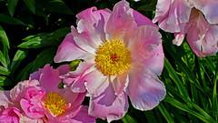 Pleasant Pinkish Peonies Please Particular People !! (Bob's Digital Eye) Tags: bobsdigitaleye canon canonefs1855mmf3556isll flicker flickr flora flowers garden gardenflowers june2018 peony plant t3i
