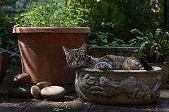 Camille in the rabbit planter (rootcrop54) Tags: cc100 camille female tabby rabbitplanter catnip smooth stones neko macska kedi 猫 kočka kissa γάτα köttur kucing gatto 고양이 kaķis katė katt katze katzen kot кошка mačka gatos maček kitteh chat ネコ cc400